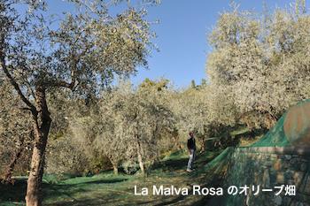 La Malva Rosa オリーブ畑